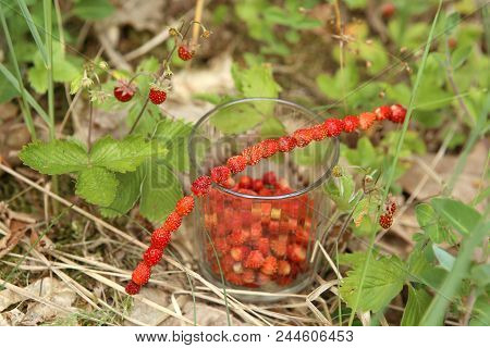 Wild Strawberries Gathered In Glass And On Grass Straw  In Forest. Ripe Woodland Strawberries Harves