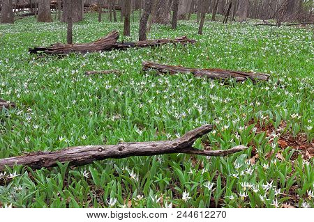 A Large Colony Of White Trout Lilies Spreads Through Fallen Charred Logs Of  The Forest Floor. In Ea
