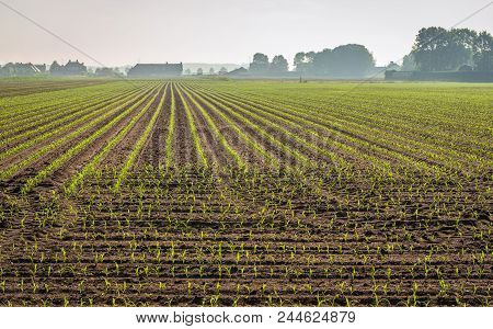 Small, Newly Sown Corn Plants In Long Converging Lines. It Is Early In The Morning Of A Beautiful Sp