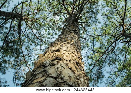 Pine Trees In The Forest. Bark And The Tall Corners Of Tall Pines See The Sky. Giant, Looking, Trave