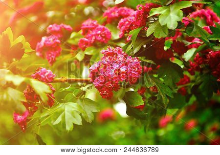 Spring Flower Background. Closeup Of Spring Hawthorn Tree Pink Flowers, In Latin Crataegus - Colorfu