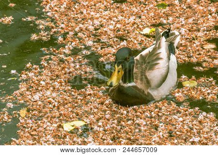 Duck Swimming Placidly In Pond With Leaves. Edam Netherlands