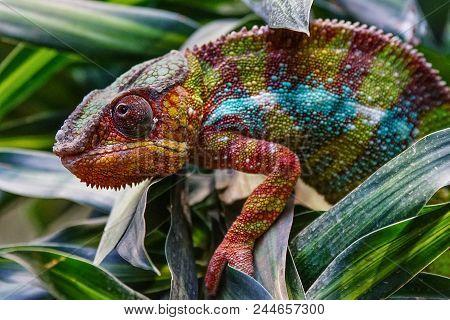 Panther Chameleon (furcifer Pardalis), Fauna Of Madagascar