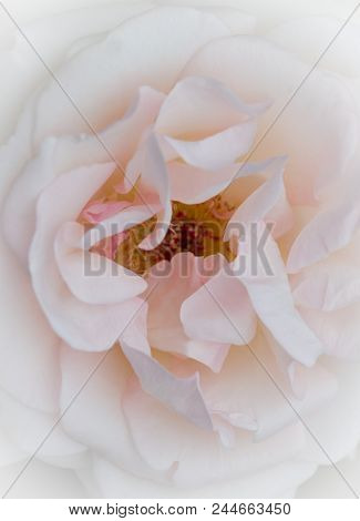 Pastel Colored Rose Closeup - Soft White Background