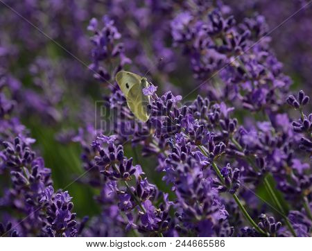 Lavender Field Closeup With Butterfly  - Sunny Fresh Fragrant Impression