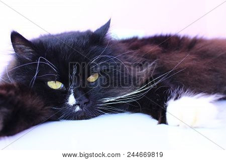 Feline Muzzle Closeup. Black Cat Laying On Pink Tender Background. Domestic Pet Having A Rest. Domes
