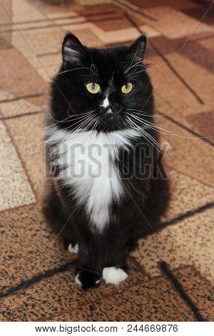 Black Cat Sitting On Carpet. Black Cat With White Tie Sitting On Carpet Of Room. Nice Pet