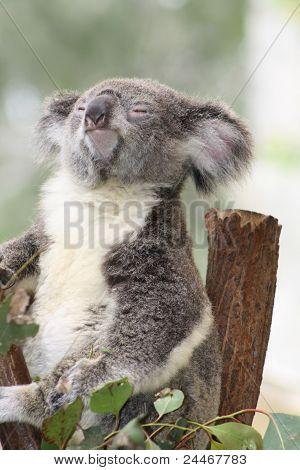 Koala em uma árvore