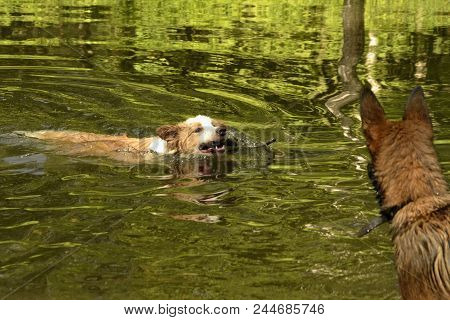 Two Young Puppies Are Playing In A Pond. Dogs Swim In The Pond In The Summer.