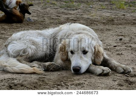 A Bored Dog. Health And Activity Of The Pet. Education Of A Vigorous Dog.