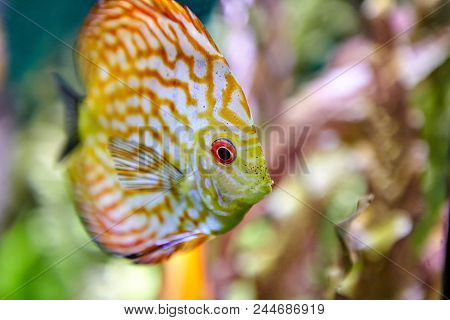 South American freshwater tropical fish discus scorpion in natural underwater ecosystem. poster