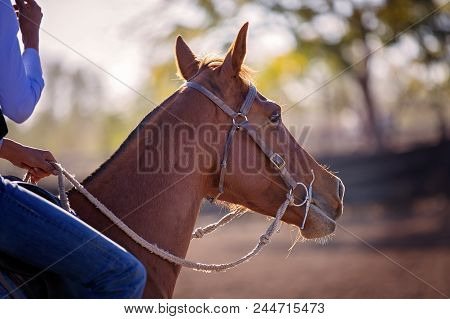 Close Up Of The Head Of A Horse Competing In An Outback Country Rodeo In Australia