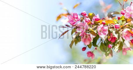 Springtime Garden Floral Background. Blossoming Pink Petals Flowers Close-up. Fruit Tree Branch On B