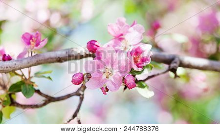 Apricot Tree Flower Blossom Macro View. Blossoming Pink Petals Fruit Tree Branch, Tender Blurred Bok