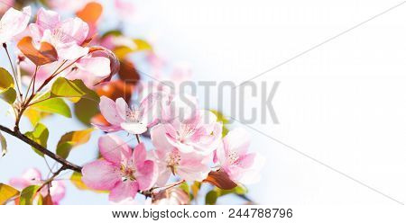 Beautiful Spring Floral Nature Landscape. Blossoming Fruit Tree Branch In The Garden, Pink Petal Flo
