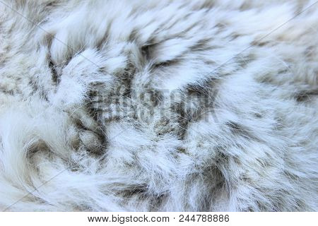 Wildlife, Animals, Textures Concept. Cropped Shot Of White Fur. Gray-white Fur Close Up. Fur Texture