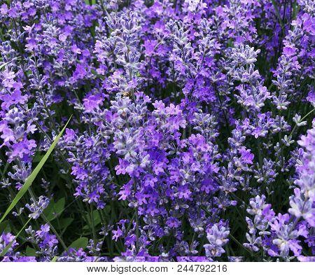 Lavandula Angustifolia Background Color Image Stock Photos