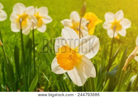 Summer Flowers Daffodils Blooming In The Summer Garden. Summer Flower Landscape With Blooming Summer