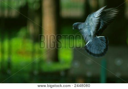 Pigeon Inflight