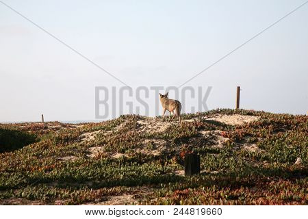 Coyote. A wild Coyote at the sea shore on the west coast. Coyote outdoors in California coast line.