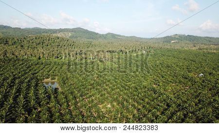 Aerial photo palm forest. Oil Palms and Coconut Palms