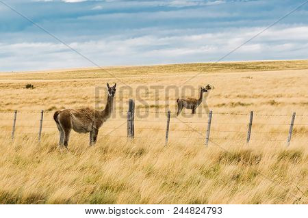 Two curious guanaco lamas (Lama guanicoe) in the endless grass pampas of Argentina
