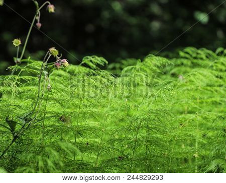 Forest Horsetail On A Sunny Meadow. Russia