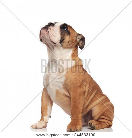 side view of cute english bulldog looking up while sitting on white background