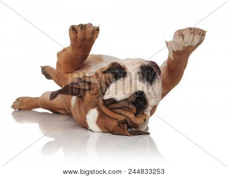 adorable english bulldog lying on its back and looking at paws on white background, playing