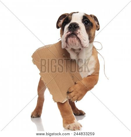 beggar english bulldog looks up and points to its sign while standing on white background
