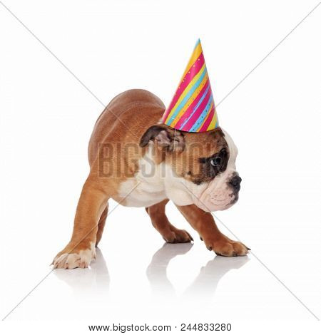 adorable english bulldog with colorful birthday hat looks to side while standing on white background