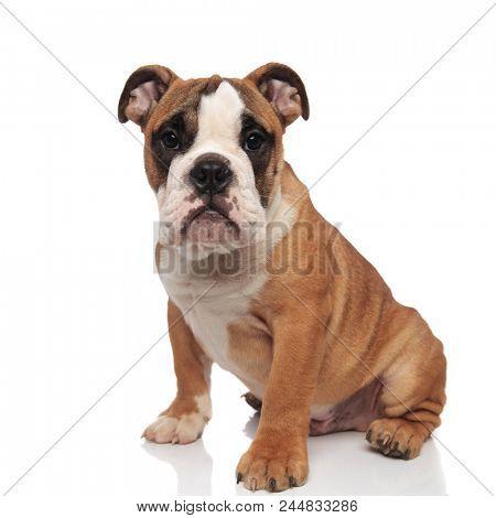 cute brown english bulldog sitting on white background