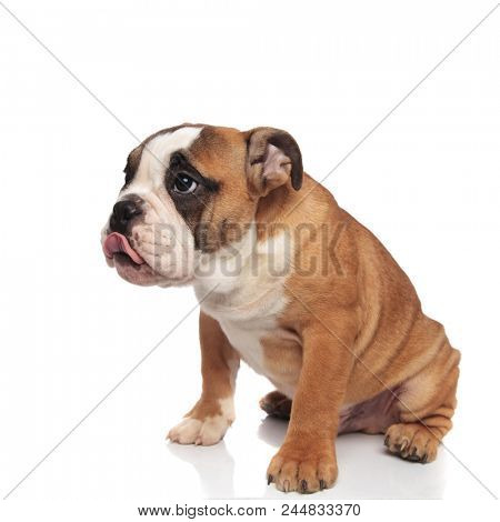 adorable seated hungry english bulldog with tongue out on white background
