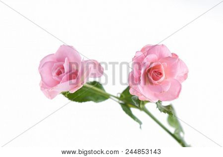 pink branch rose on white background