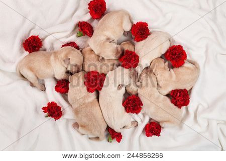Yellow labrador puppy dog litter - bunch of newborn doggies with red carnation flowers on white blanket