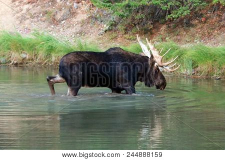 Male Moose In Fisher Cap Lake On The Swiftcurrent Hiking Trail In The Many Glacier Region Of Glacier