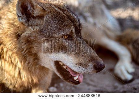 Grey Wolf Animal Portrait In Sunset Light.