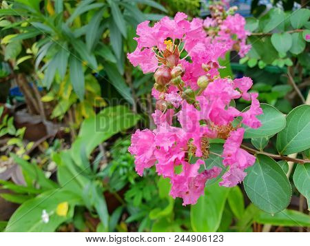 Soft Focus Of Pink Crape Myrtle Flower On Blurred Branch And Leaves Background (lagerstroemia Specio