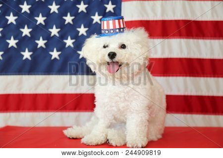 Bichon Frise Dog with American Flag. A purebred Bichon Frise female dog smiles and wears a hat as she poses with an American Flag for her 4th of July Photo Shoot.