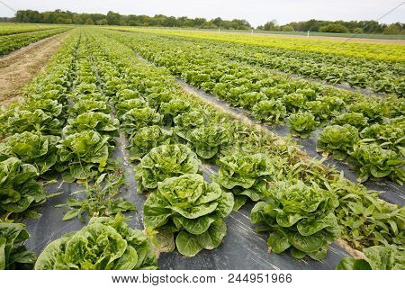 Rows Of Lettuce Growing On Farmland With Plastic Mulch As Protection Against Drought. Agriculture In