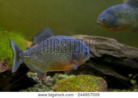 Closeup Of The Ferocious Red Piranha Fish (pygocentrus Nattereri)