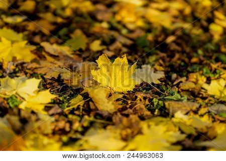 One fallen autumn maple leaf on the background of the earth covered with a variety of other leaves. Seasons, nostalgic mood backdrop poster