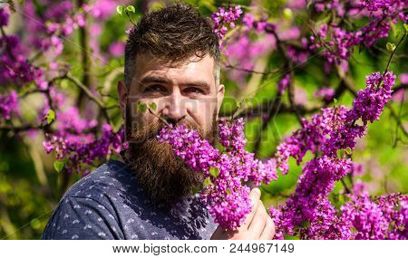 Bearded man with fresh haircut sniffs bloom of judas tree. Man with beard and mustache on calm face near flowers on sunny day. Hipster enjoys aroma of violet blossom. Perfumery and fragrance concept. poster
