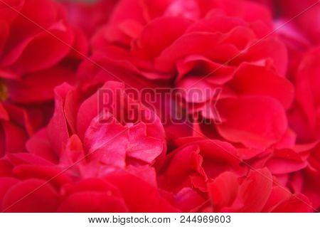 Bouquet Of Petals Of A Red Wild Rose, Rose Petals Close-ups
