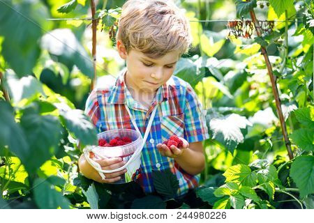 Cute Little Kid Picking Fresh Berries On Raspberry Field. Child Pick Healthy Food On Organic Farm. L