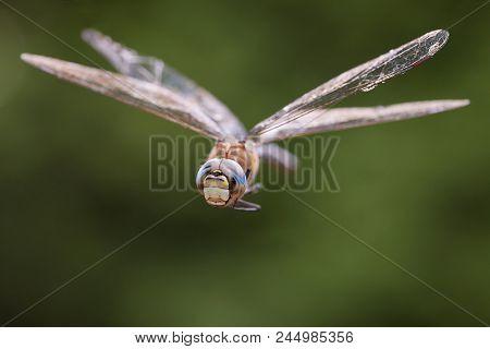 Dragonfly macro in flight shot