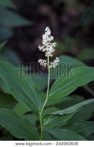 Fragrant Feathery Flowers Of A False Solomon Seal