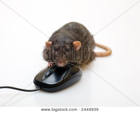 Black Rat And A Mouse