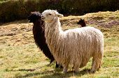 Pair of Black and White Lamas with a Baby in the Background poster