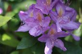 lila color rhododendron flower in bloom macro poster
